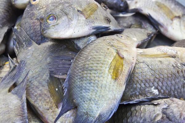 Fish Farming (Tilapia Culture) project feasibility
