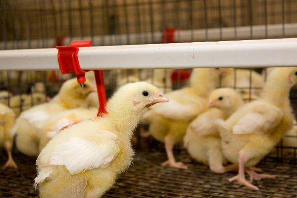 Poultry Farm  project feasibility